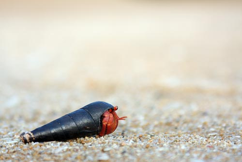 hermit crab on beach-AsiaPhotoStock