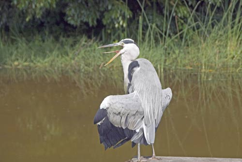 heron japan-AsiaPhotoStock