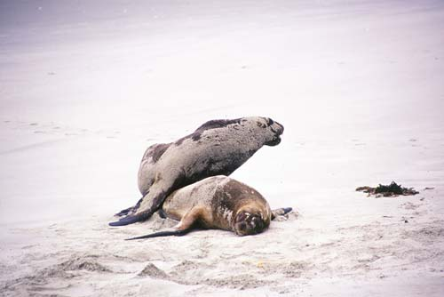 hookers sea lions-AsiaPhotoStock