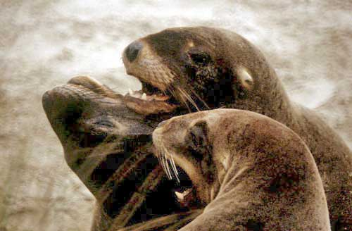 hooker`s sea lions at play-AsiaPhotoStock