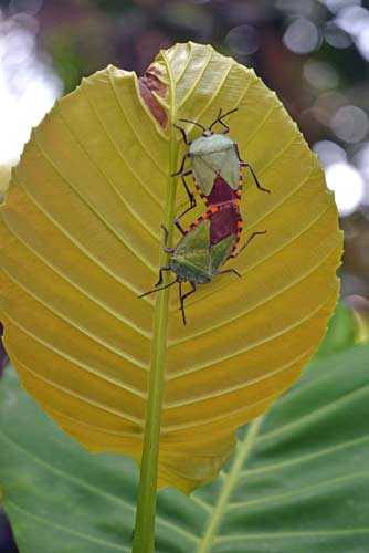 mating coloured insects-AsiaPhotoStock