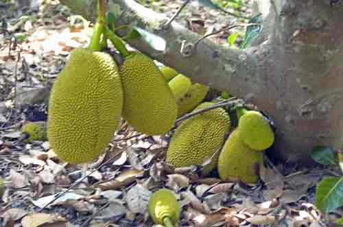 big jackfruits thailand-AsiaPhotoStock