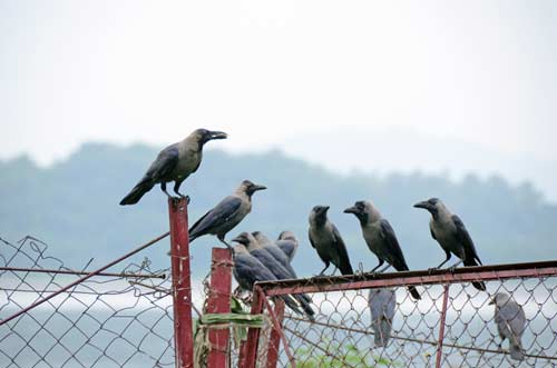 house crows guwahati-AsiaPhotoStock
