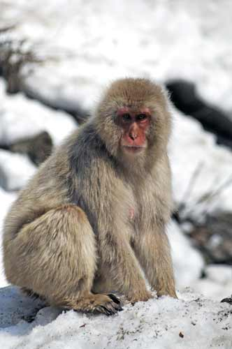 japanese macaque-AsiaPhotoStock