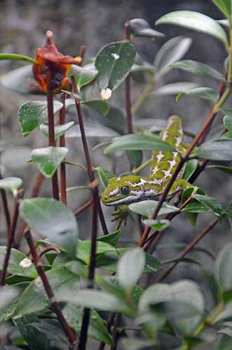 jewelled gecko-AsiaPhotoStock