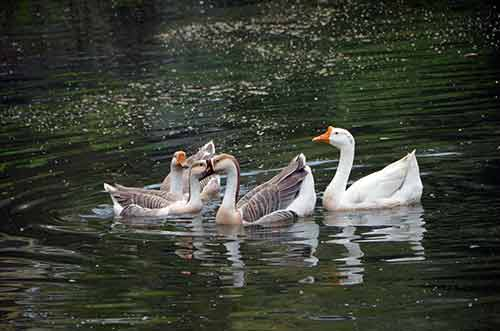 kerala ducks-AsiaPhotoStock