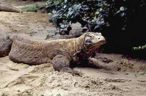 komodo dragon-AsiaPhotoStock