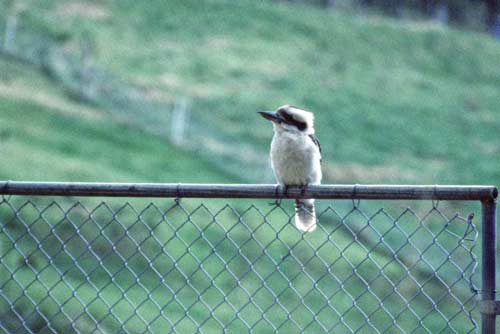 laughing kookaburra-AsiaPhotoStock