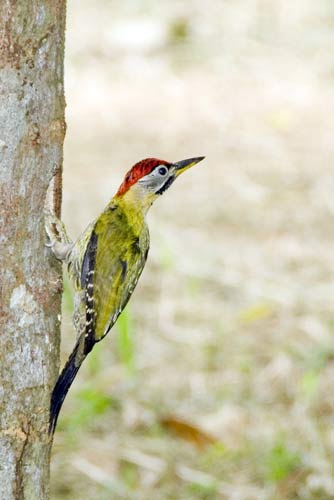 male laced woodpecker-AsiaPhotoStock