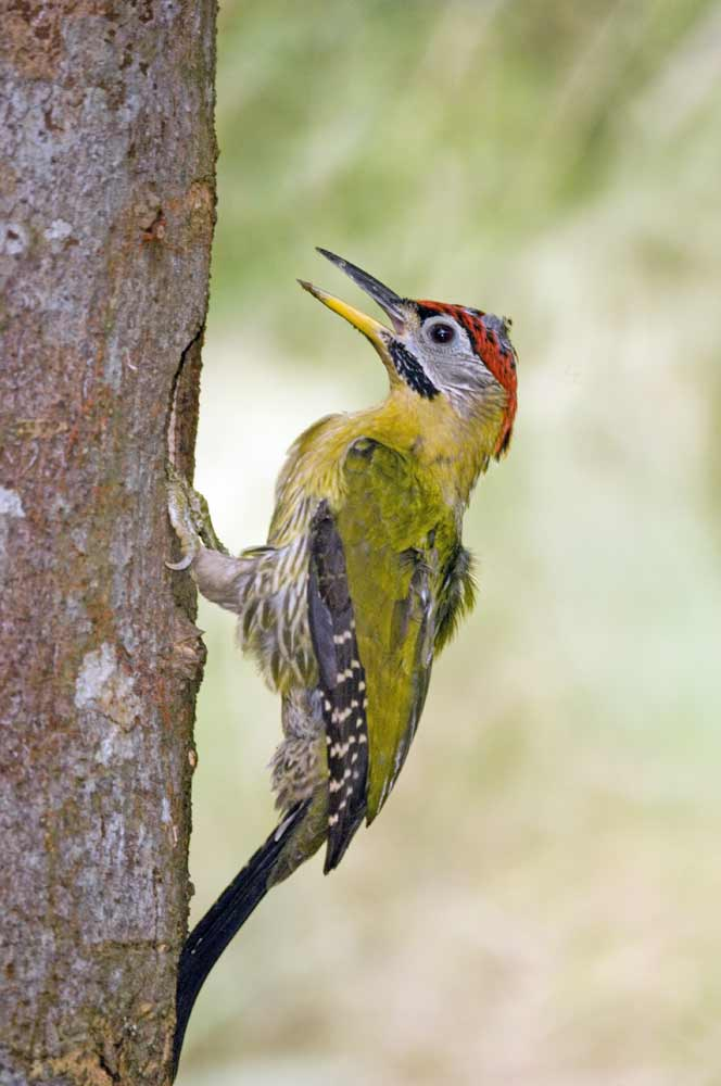 laced woodpecker at hole-AsiaPhotoStock