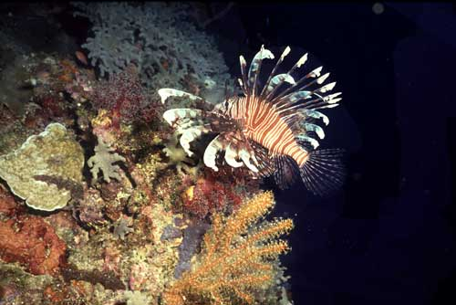 lion fish-AsiaPhotoStock