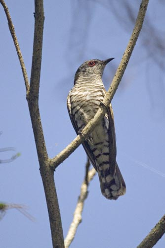 little bronze cuckoo male-AsiaPhotoStock