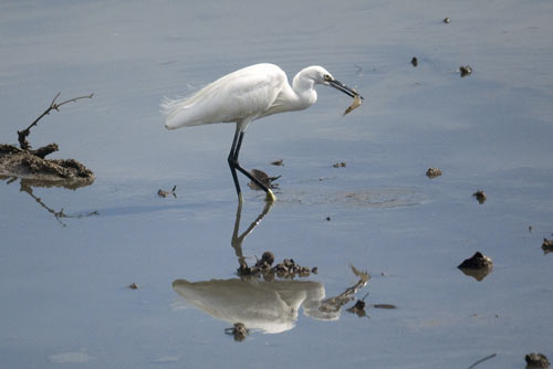 little egret singapore-AsiaPhotoStock