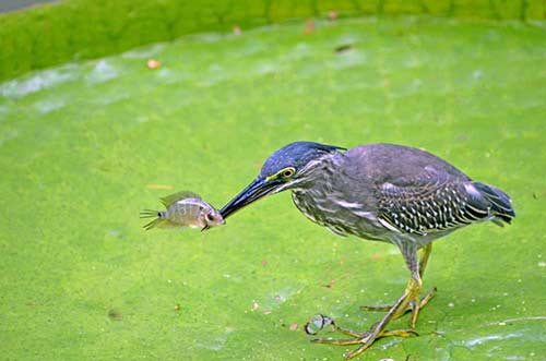 little heron fishing-AsiaPhotoStock