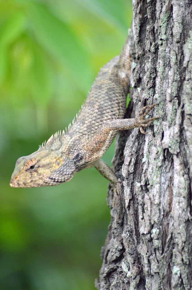 lizard on tree-AsiaPhotoStock