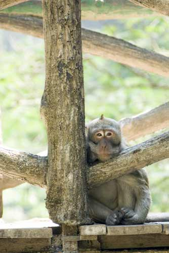 long tailed macaque java-AsiaPhotoStock