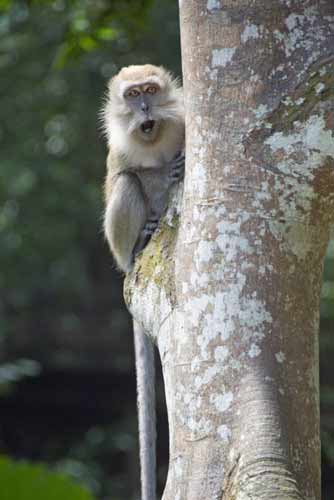 long tailed macaques-AsiaPhotoStock