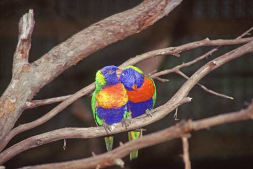 love birds-AsiaPhotoStock