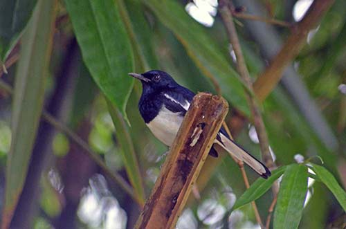 magpie robins-AsiaPhotoStock