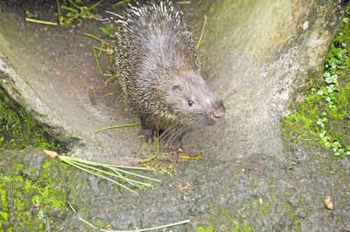 young malay porcupine-AsiaPhotoStock
