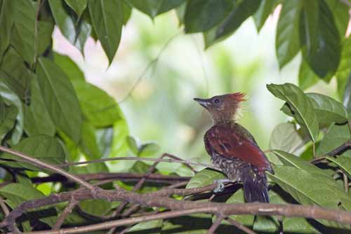 male banded woodpecker-AsiaPhotoStock