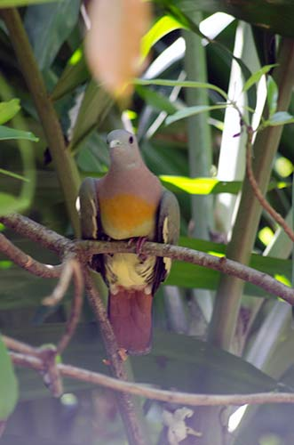 male green pigeon-AsiaPhotoStock
