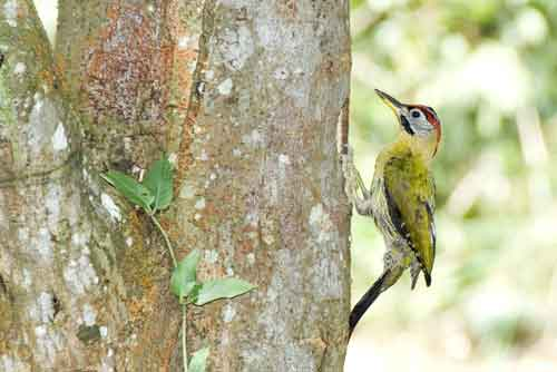 laced woodpecker-AsiaPhotoStock