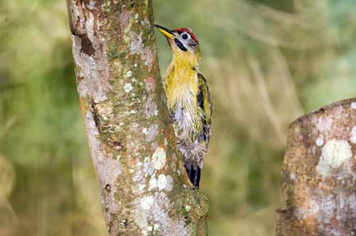 laced woodpecker on tree-AsiaPhotoStock