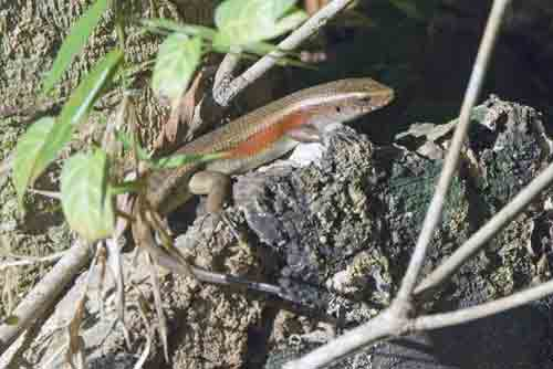 many lined sun skink-AsiaPhotoStock