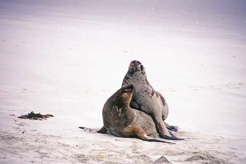 mating sea lions-AsiaPhotoStock