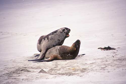 hookers sea lions nz-AsiaPhotoStock