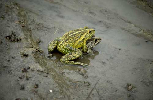 mating tiger frogs-AsiaPhotoStock