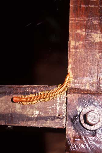 millipede-AsiaPhotoStock