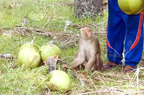 monkey with coconuts-AsiaPhotoStock