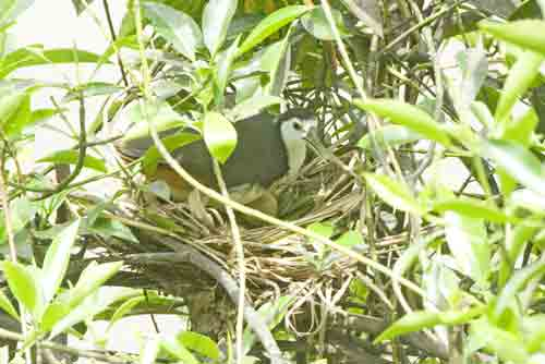 water hen on nest-AsiaPhotoStock