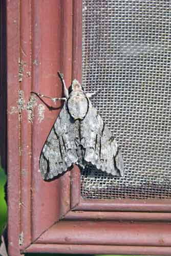 grey moth-AsiaPhotoStock