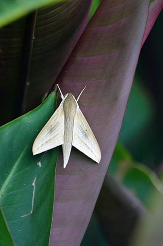 moth singapore-AsiaPhotoStock