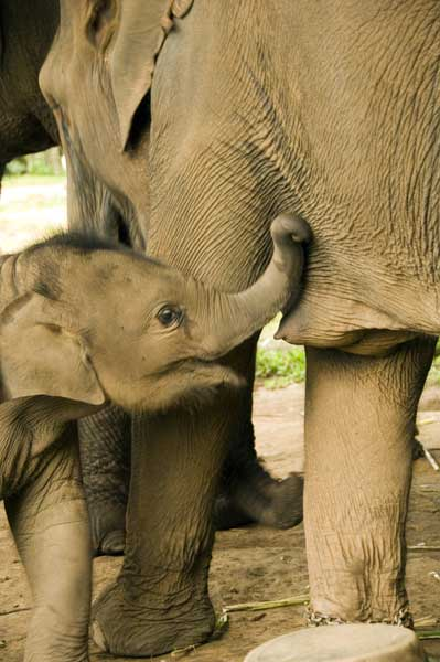 elephant breast feeding-AsiaPhotoStock
