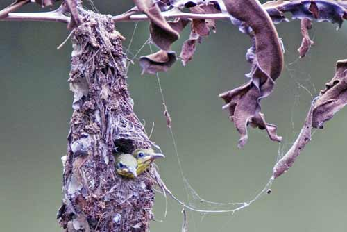 sunbird chicks in nest-AsiaPhotoStock