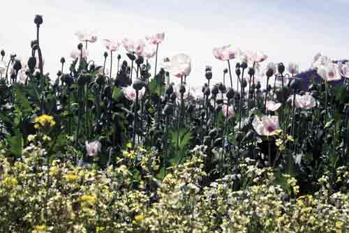 opium poppies-AsiaPhotoStock