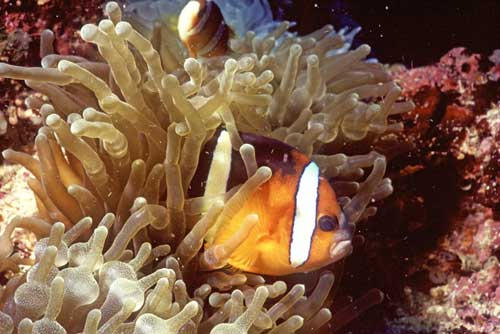 orange clown fish-AsiaPhotoStock