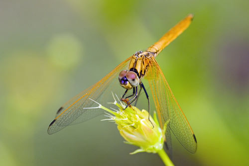 orange dragonfly-AsiaPhotoStock