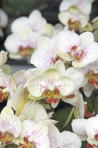 orchid10-AsiaPhotoStock