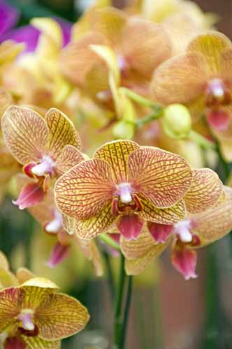 orchids15-AsiaPhotoStock