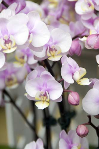 orchid6-AsiaPhotoStock