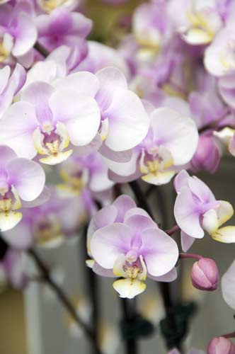 orchid7-AsiaPhotoStock