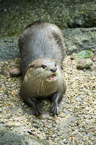 asian small clawed otter-AsiaPhotoStock