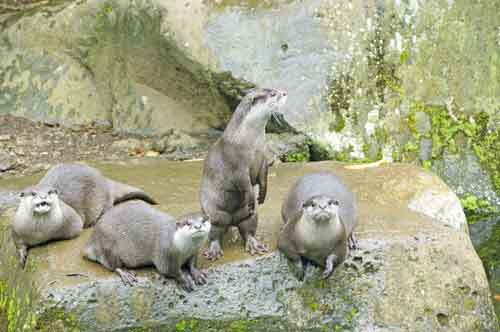 otters indonesia-AsiaPhotoStock