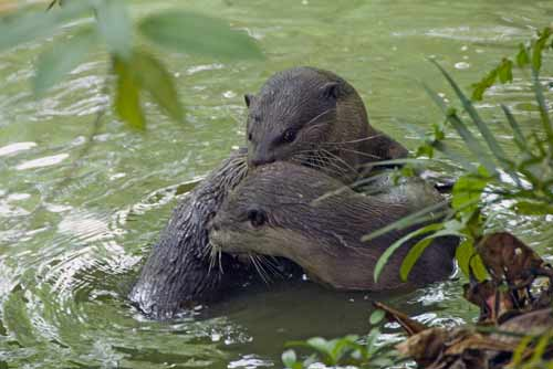otters playing singapore-AsiaPhotoStock
