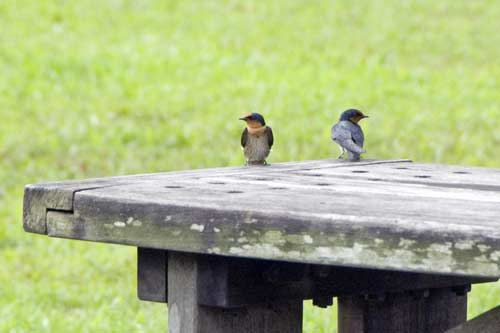 pacific swallows-AsiaPhotoStock